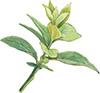 ブルーベリー葉粉末 ブルーベリー茎エキス