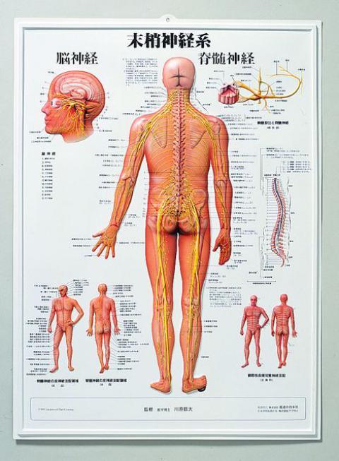 3D人体チャート(末梢神経系)