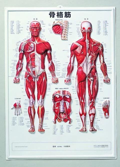3D人体チャート(骨格筋)