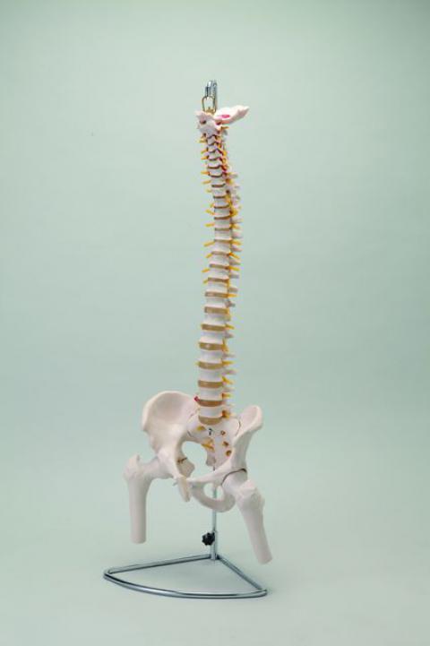 大腿骨付脊髄帯神経整体模型