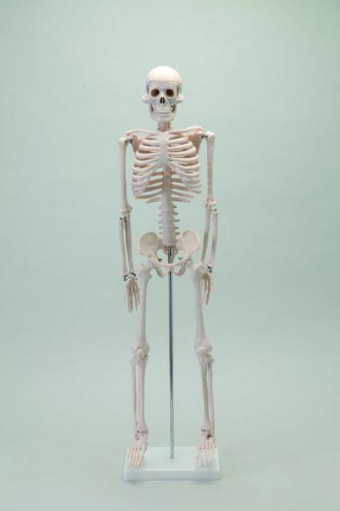 骨格模型 85cm