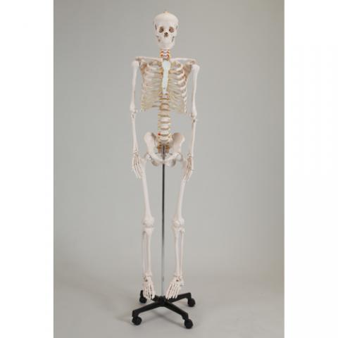等身大骨格模型